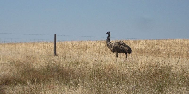 A single Australian emu walking alongside a barbed wire fence in a field of dry grass